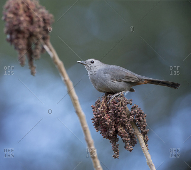Gray Catbird on sumac berries, Dumetella Carolinensis, Florida