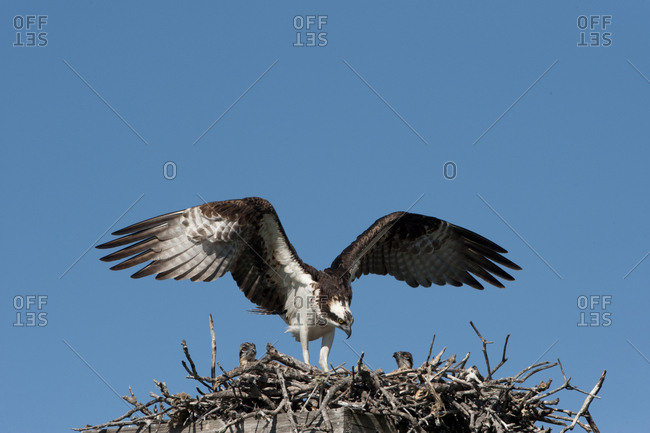 USA, Florida, Sanibel Island, Ding Darling NWR, Osprey nest with adults and two chicks
