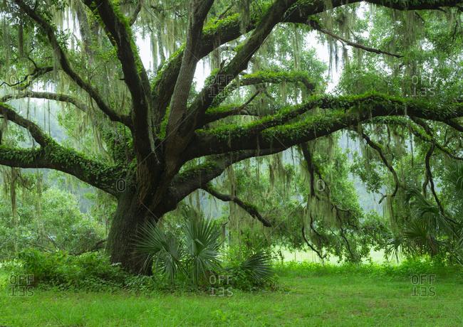 Beautiful Southern Live Oak tree, Quercus Virginiana, Central Florida