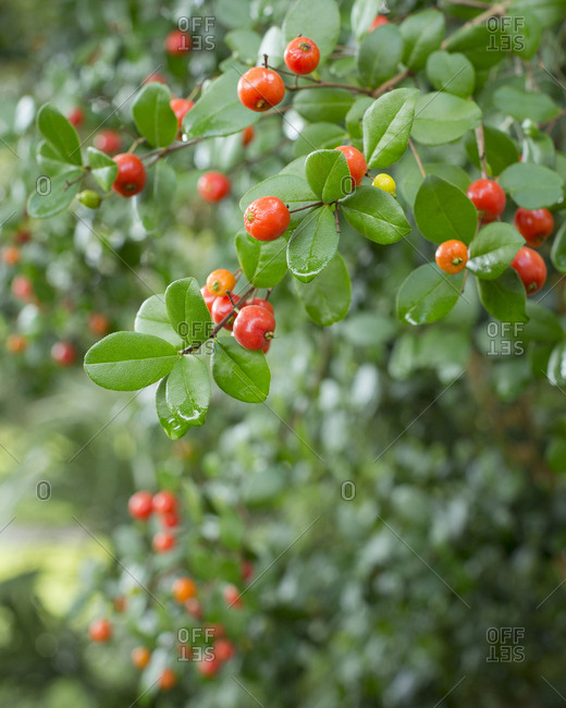 Simpson Stopper showing red berries, Myrcianthes fragrens, native shrub, Florida