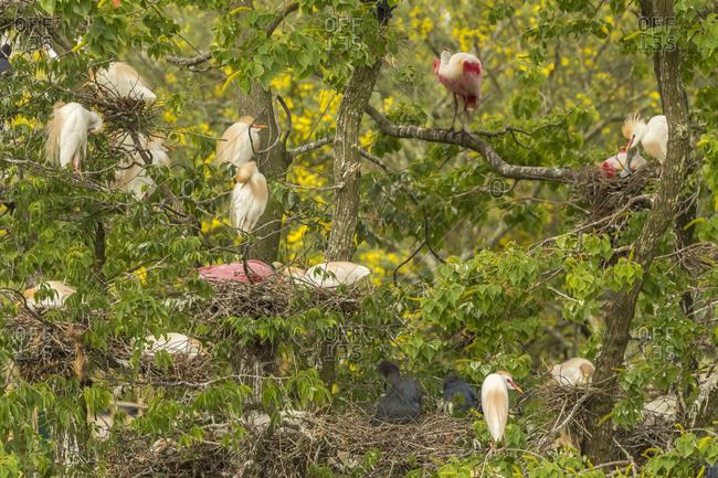 USA, Louisiana, Jefferson Island, Bird rookery in trees