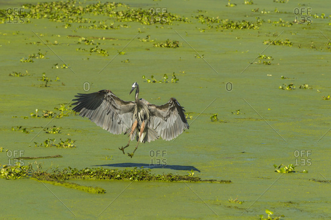 USA, Louisiana, Atchafalaya National Heritage Area, Great blue heron landing in Lake Martin
