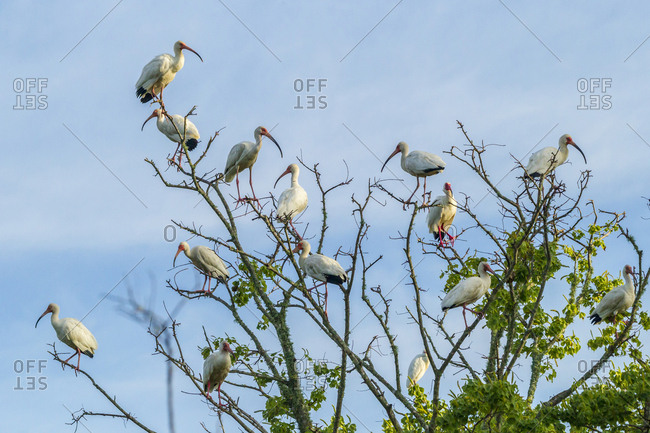 USA, Louisiana, Miller's Lake, White ibis flock in tree