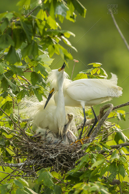 USA, Louisiana, Jefferson Island, Snowy egret pair at nest with chicks
