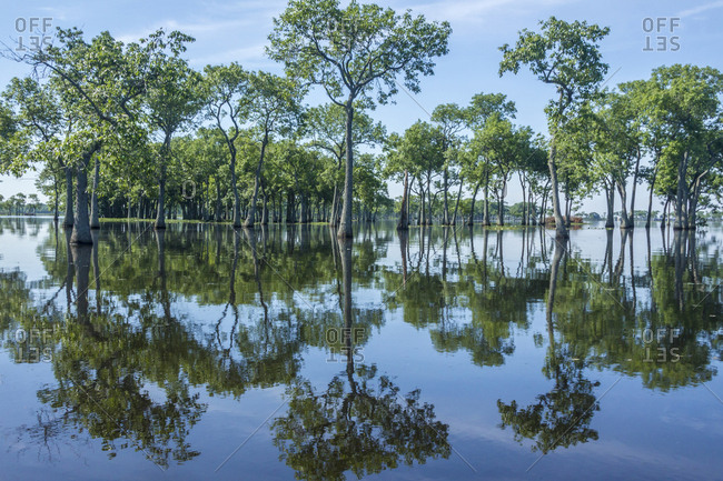 USA, Louisiana, Miller's Lake, Tupelo trees in lake