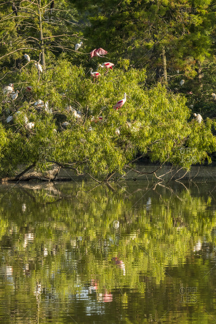 USA, Louisiana, Jefferson Island, Rookery reflection in water