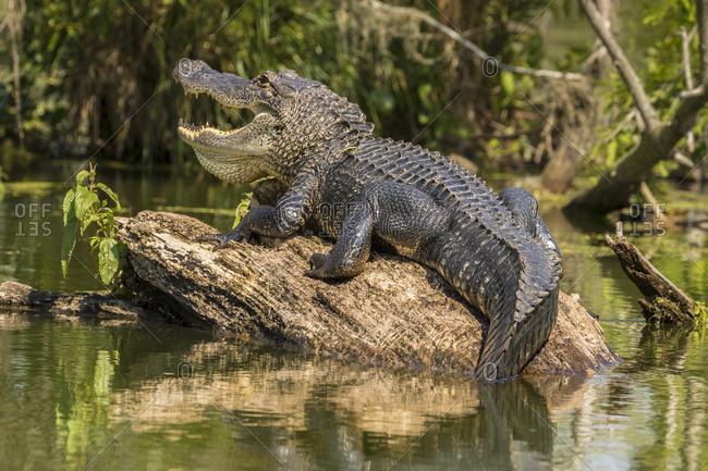 USA, Louisiana, Atchafalaya National Heritage Area, Alligator sunning on log