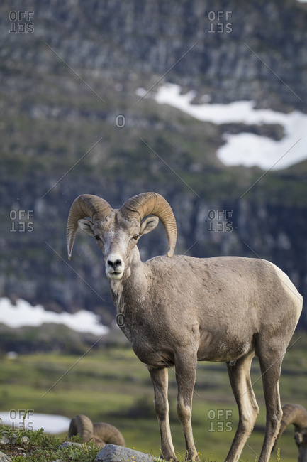 Male Bighorn Sheep, Glacier National Park, Montana, Profile, USA, horns