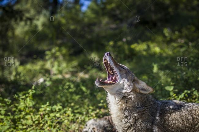 American Badger, Montana