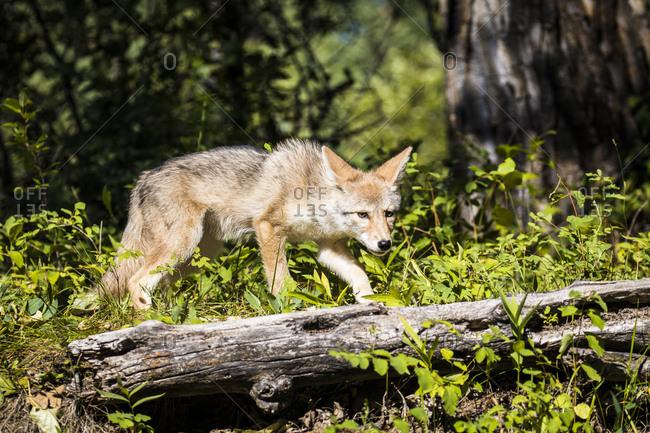 Glacier National Park, Montana, Coyote