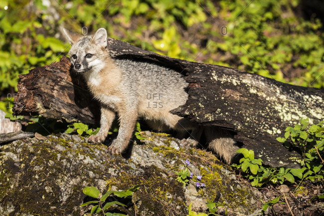 Glacier National Park, Montana, Grey Fox