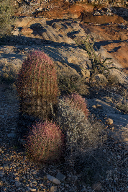 USA, Nevada, Barrel Cactus and other desert vegetation at Whitney Pockets, Gold Butte National Monument