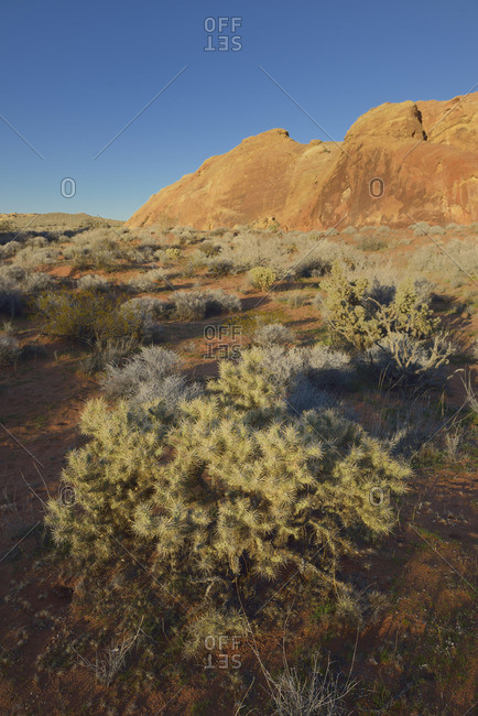 USA, Nevada, Valley of Fire State Park, Cactus growing in a wash in front of red cliffs