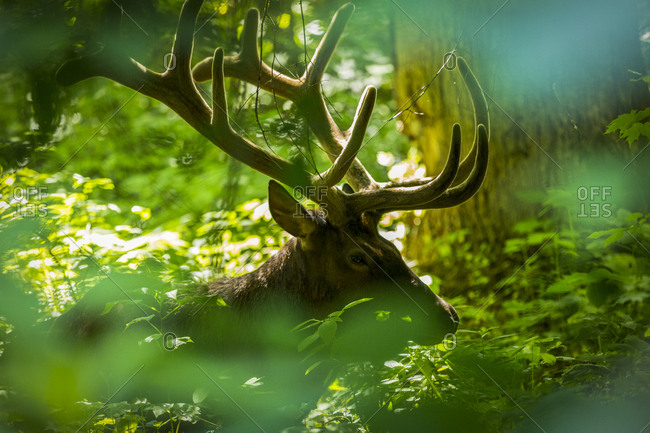 A rocky mountain elk is pictured resting in the thick forest of the Great Smoky Mountains National Park