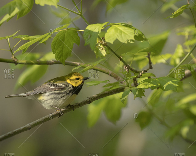 Black-throated green warbler, Dendroica virens, Magee Marsh Wildlife Area, Oregon, Ohio