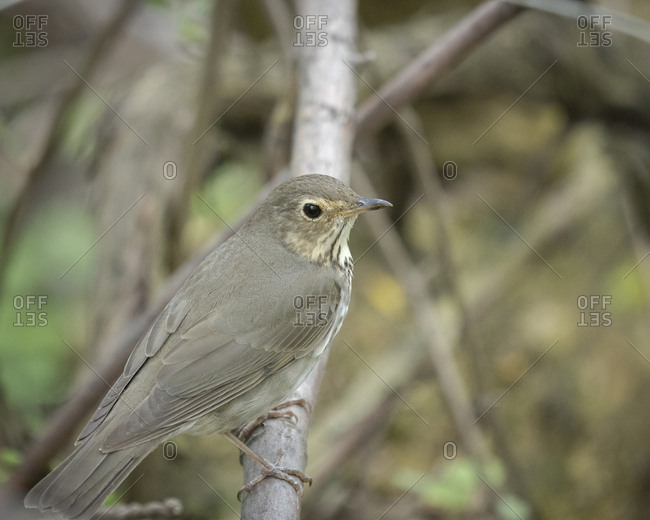 Swainson's Thrush, Catharus ustulatus, Magee Marsh Wildlife Area, Oregon, Ohio, wild