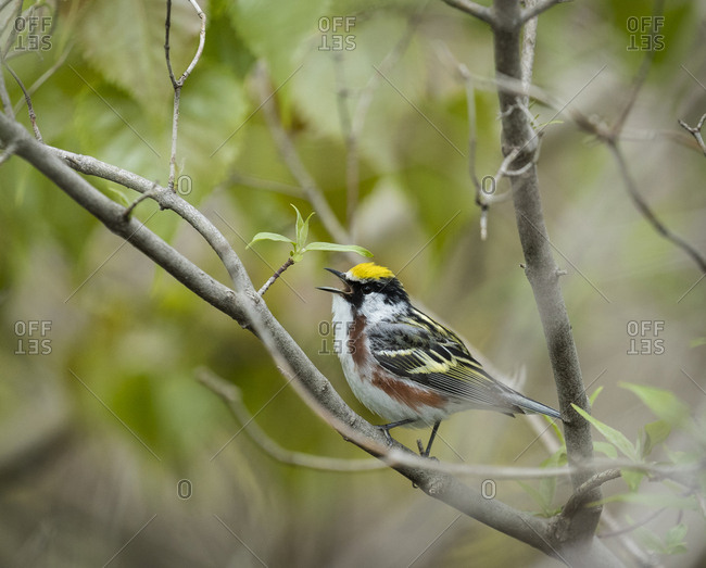 Chestnut-sided Warbler, Dendroica pensylvanica, Magee Marsh Wildlife Area, Oregon, Ohio