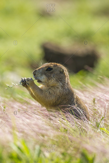 USA, Oklahoma, Wichita Mountains National Wildlife Refuge, Prairie dog eating
