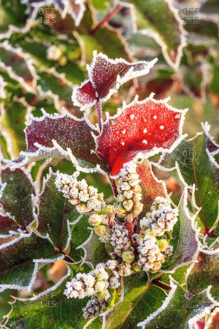 Frost-covered Oregon Grape shrubs (Mahonia aquifolium) in Spring, Portland suburban area near Mt, Scott, Oregon
