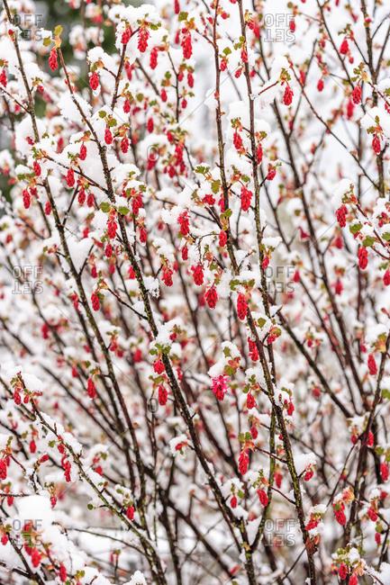 Spring Snowstorm, Portland, Oregon