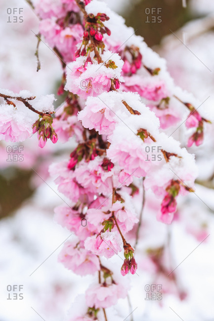 Snow on Cherry Blossoms, Spring Snowstorm, Portland, Oregon suburban area
