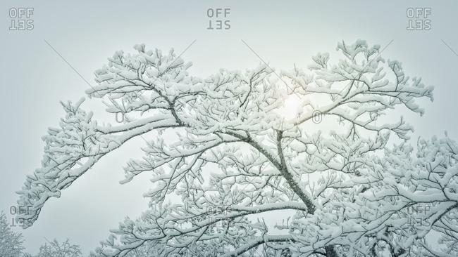 USA, Washington State, Seabeck, Panorama of snow-covered tree limbs
