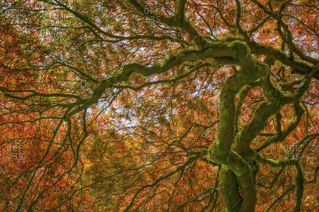 USA, Washington State, Bainbridge Island, Japanese maple tree close-up