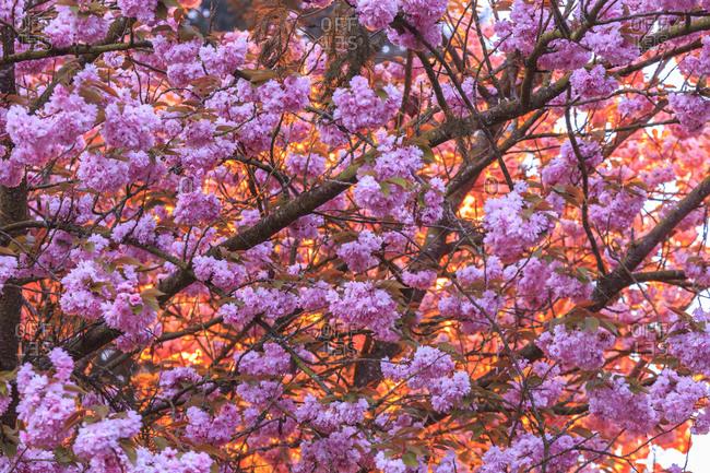 Cherry Blossoms backlit by street light, Mill Creek neighborhood, Seattle, Washington State, USA