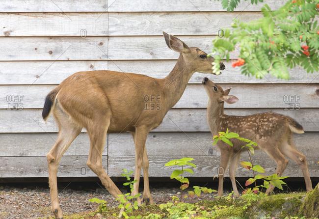USA, Washington State, Doe and fawn Columbian black-tailed deer, Northwest sub-species of mule deer