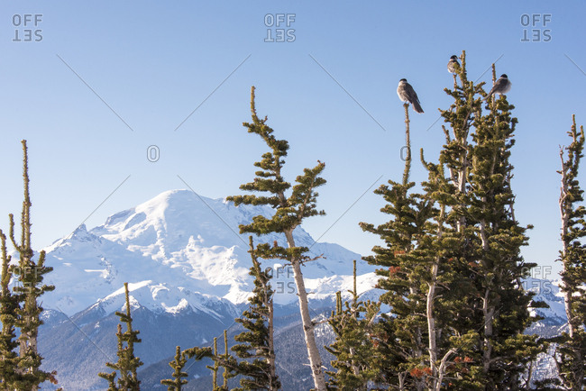 USA, Washington State, Crystal Mountain Resort, Gray Jays (Perisoreus canadensis) perch with Mt, Rainier beyond, Summit accessed by gondola