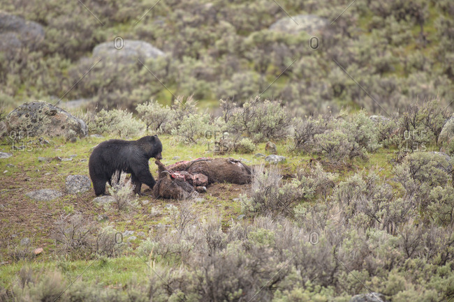USA, Wyoming, Yellowstone National Park, Black bear feeds on bison carcass killed by wolves