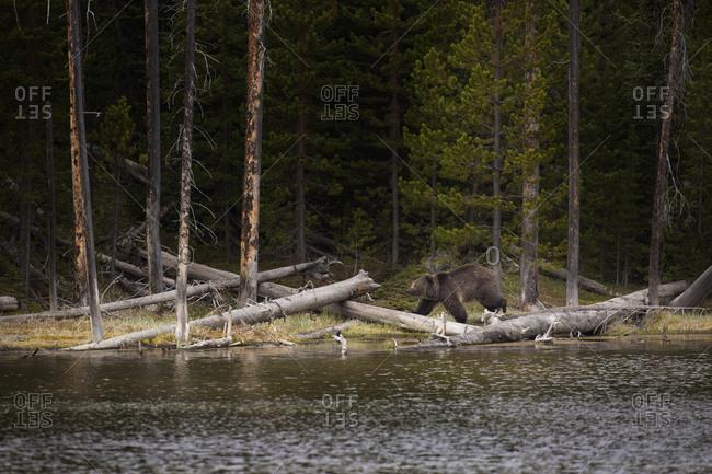 USA, Wyoming, Yellowstone National Park, Grizzly Bear walks along a lake shore