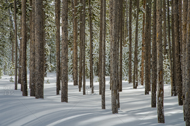 USA, Wyoming, Yellowstone National Park, winter, tree trunk group