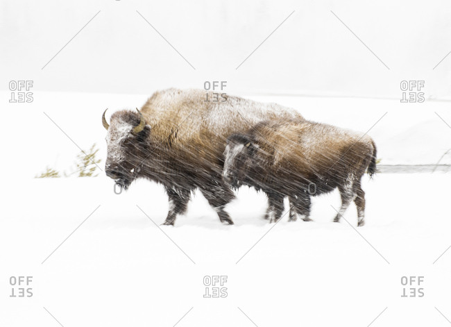 USA, Wyoming, Yellowstone National Park, Bison in winter