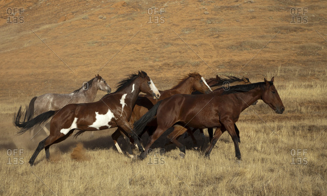 USA, Wyoming, Shell, The Hideout Ranch, Horses Running Together