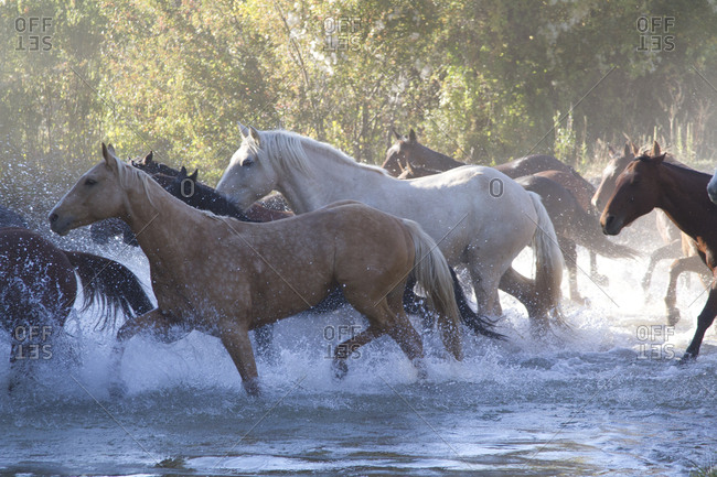 USA, Wyoming, Shell, The Hideout Ranch, Herd of Horses Cross the River