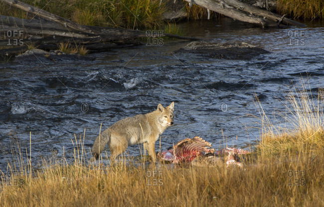 Yellowstone National Park, Wyoming, USA, Coyote standing over a dead elk carcass
