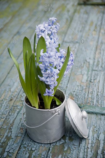 Flower decoration- hyacinth in metal pot