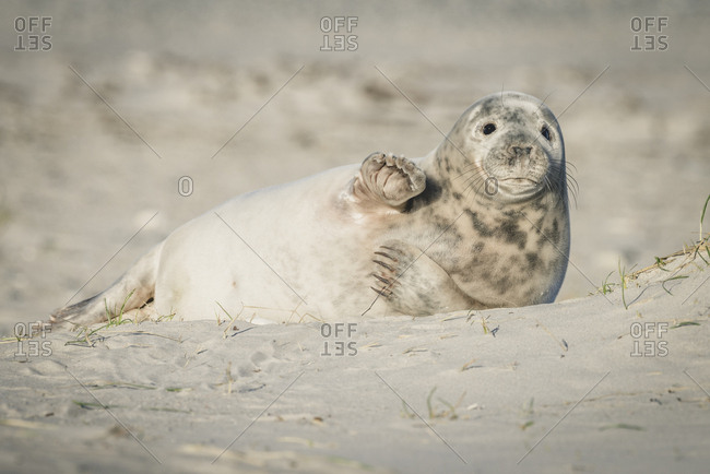 Germany- Helgoland- grey seal pup lying on the beach