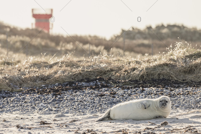 Germany- Helgoland- Duene Island-  grey seal pup lying on the beach