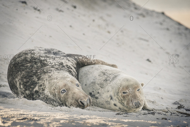 Germany- Helgoland- pair of grey seals lying on the beach after mating