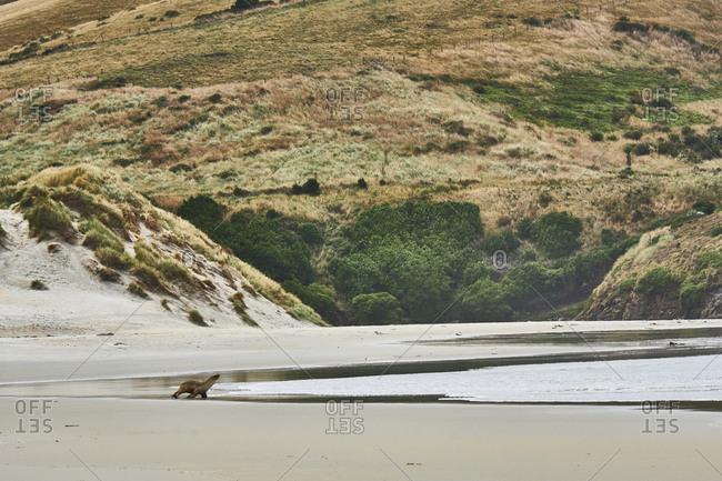 New Zealand- South Island- Dunedin- Otago Peninsula- Tomahawk Beach