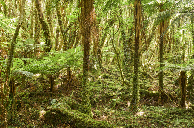 New Zealand- South Island- Westland National Park- rain forest