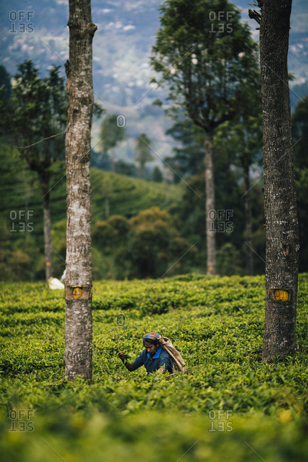 Ella, Sri Lanka - February 3, 2018: Woman picking leaves at a tea plantation in the hills of central Sri Lanka