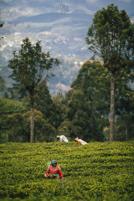 Ella, Sri Lanka - February 3, 2018: Women picking tea leaves at a plantation in the hills of central Sri Lanka