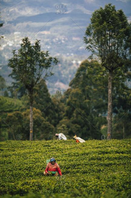 Ella, Sri Lanka - February 3, 2018: Women picking tea leaves at a plantation in the hills of central Sri Lanka