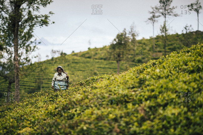Ella, Sri Lanka - February 3, 2018: Tea picker walking among bushes at a tea plantation in the hills of central Sri Lanka