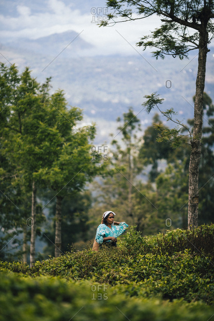 Ella, Sri Lanka - February 3, 2018: Tea picker standing among bushes at a tea plantation in the hills of central Sri Lanka