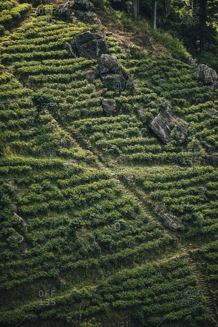Ella, Sri Lanka - February 3, 2018: Tea plantation in the upper hills of central Sri Lanka