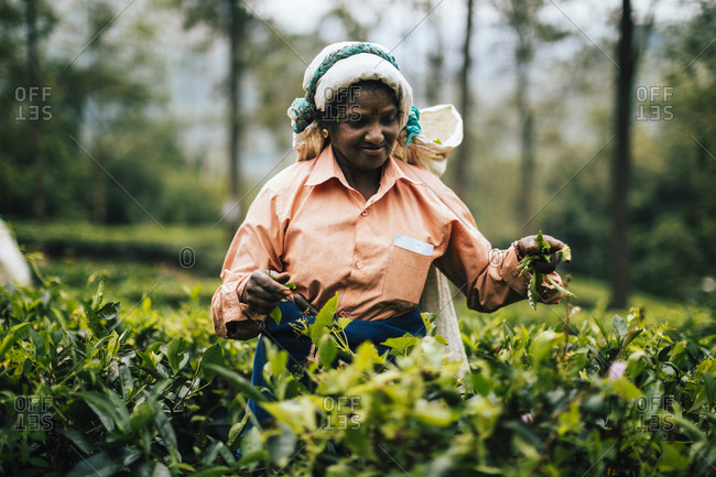 Ella, Sri Lanka - February 2, 2018: Female plantation working picking tea leaves in the hills of central Sri Lanka